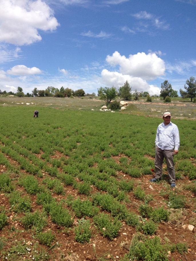 Oregano Feld mit Bauern