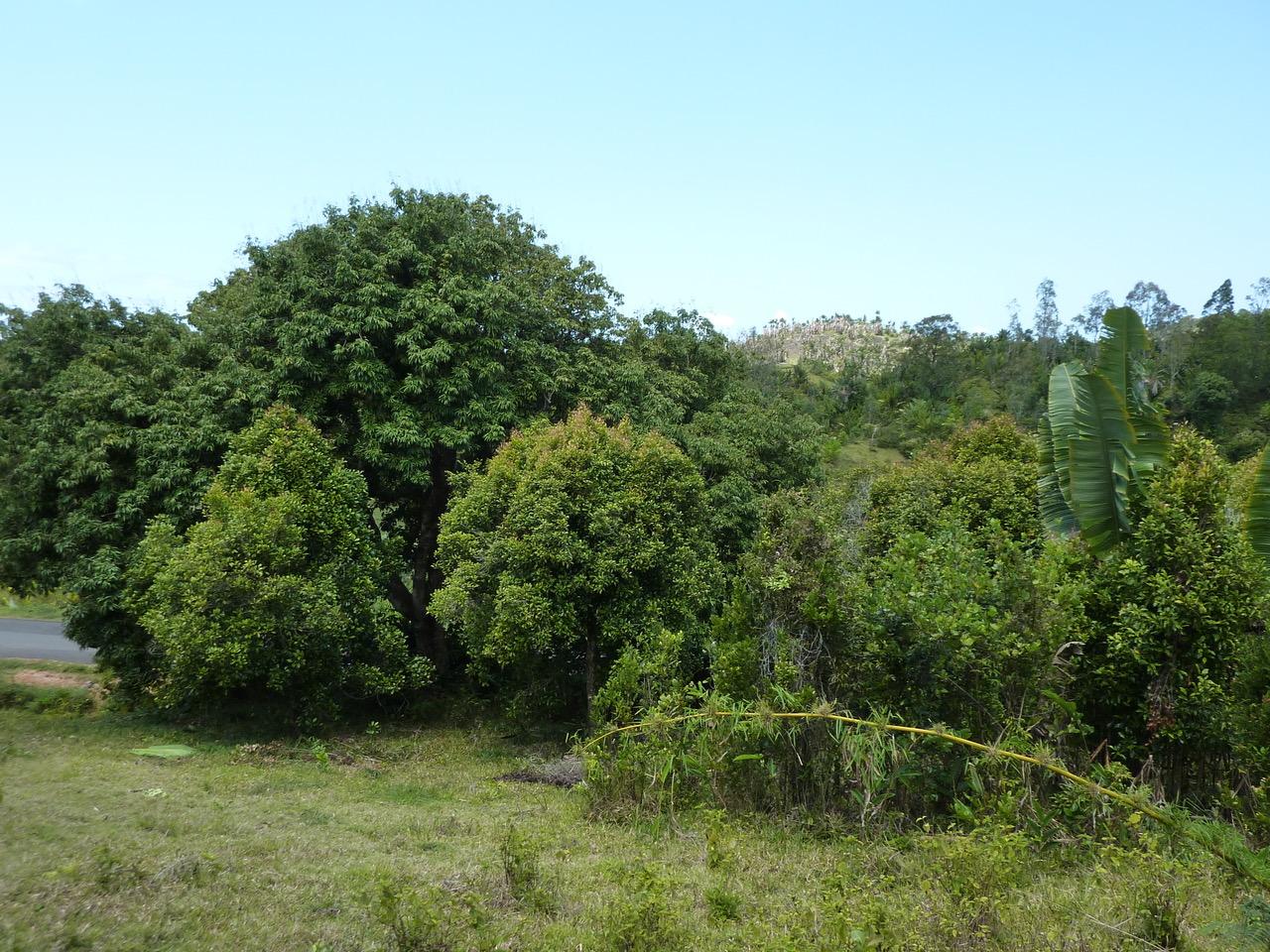Nelkenbaum Madagaskar